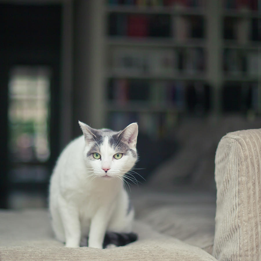 White And Grey Cat On Couch Looking At Birds Photograph by