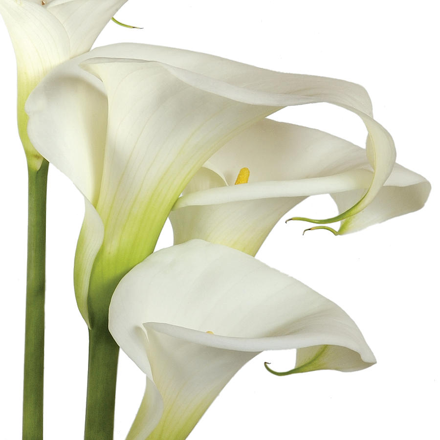 Image result for white lilies