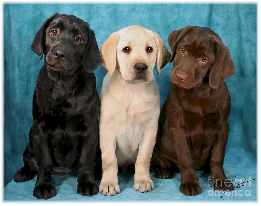Disney Cars Wallpaper Border Uk Labrador Retriever Puppies All Colors