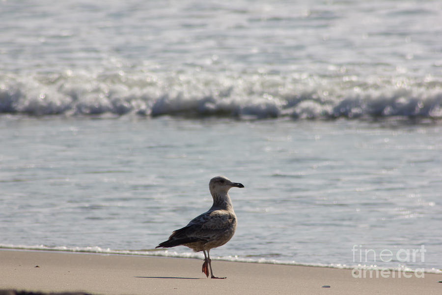 Wounded Seagull 3 Hurt Standing On One Leg Beach Photograph Art Seascape Bird Birds Beaches Sea