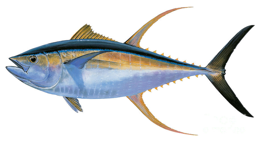Gambar Ikan Yellowfin Tuna  GambarBinatangCom