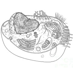Animal Cell Blank Diagram To Fill In Taco Zone Control Wiring Greeting Card For Sale By Science Source