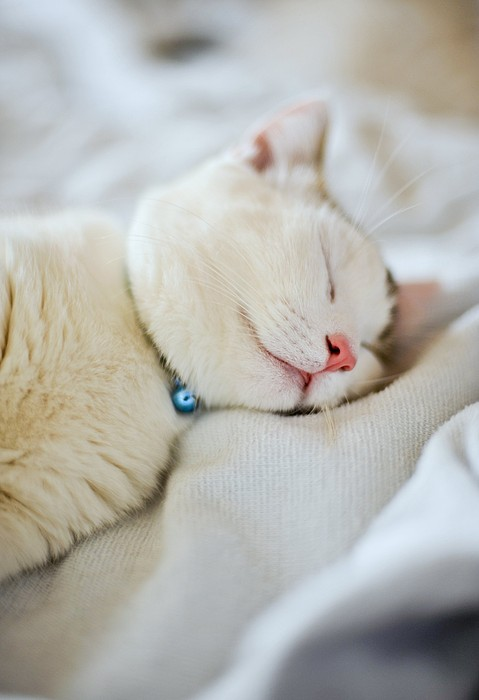 Munchkin Kitten Sleeping By Nazra Zahri