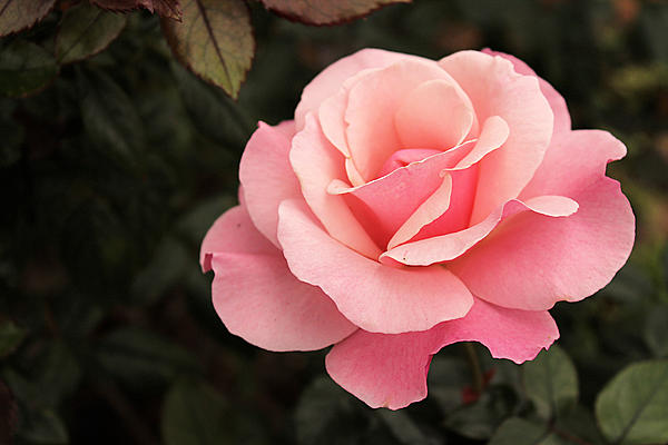 https://i0.wp.com/images.fineartamerica.com/images-medium/pastel-pink-rose-in-bloom-sarah-broadmeadow-thomas.jpg