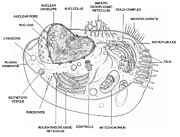 Animal Cell Diagram by Science Source