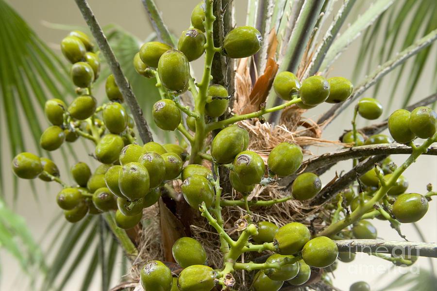 1 saw palmetto berries inga spence
