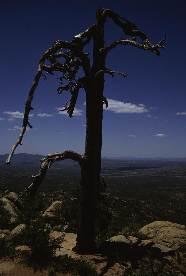A Gnarled Tree In Arizona Photograph by Stacy Gold