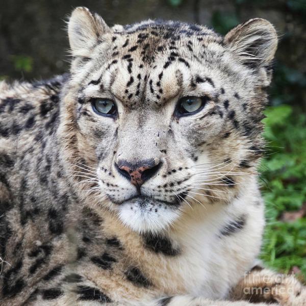 Adult Snow Leopard Portrait Jane Rix