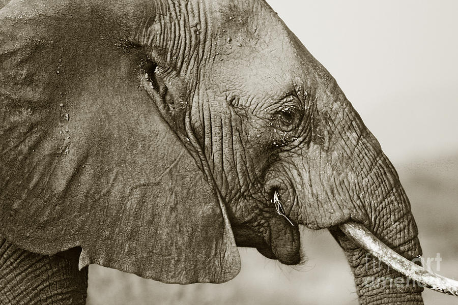 African Elephant Profile Duotoned Photograph By Liz Leyden