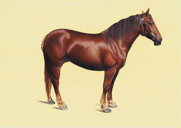 realistic horse breeds # 21