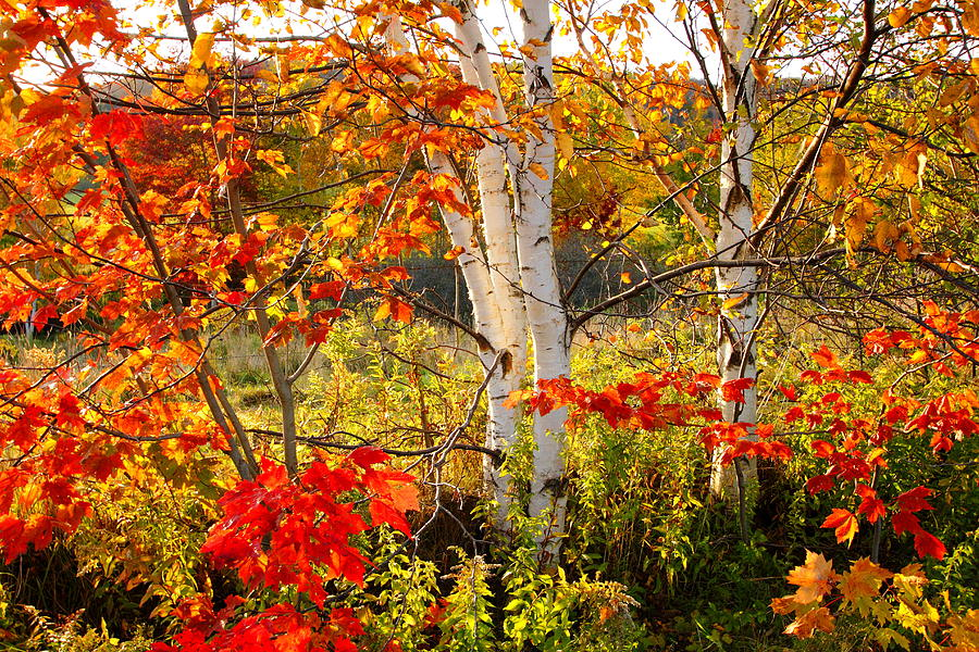 Fall Round Picnic Table Wallpaper Autumn Scene With Red Leaves And White Birch Trees Nova