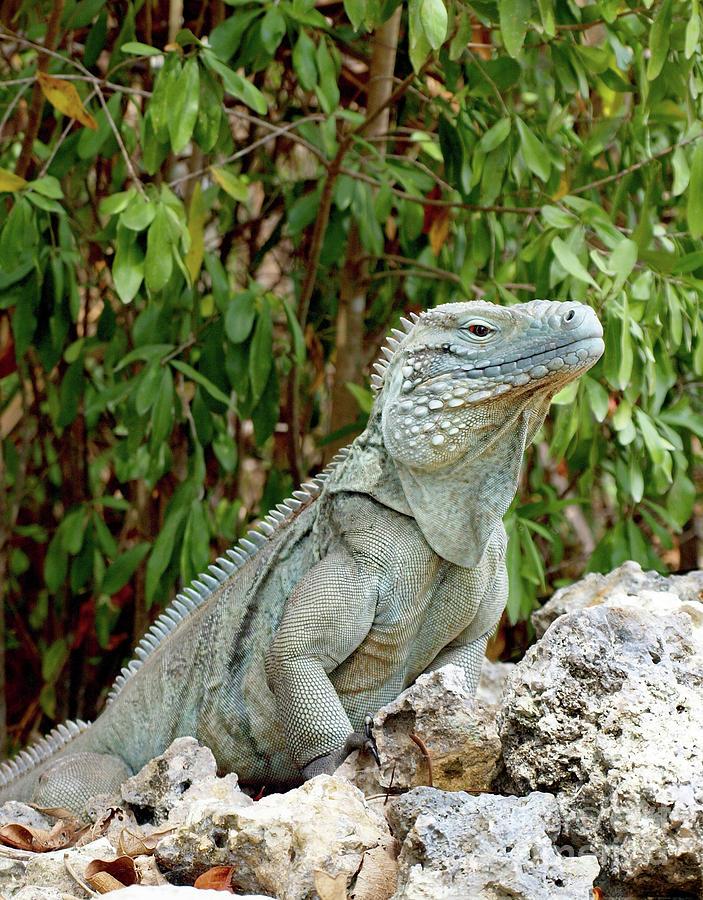 Blue Iguana Cayman Islands Photograph by James Brooker