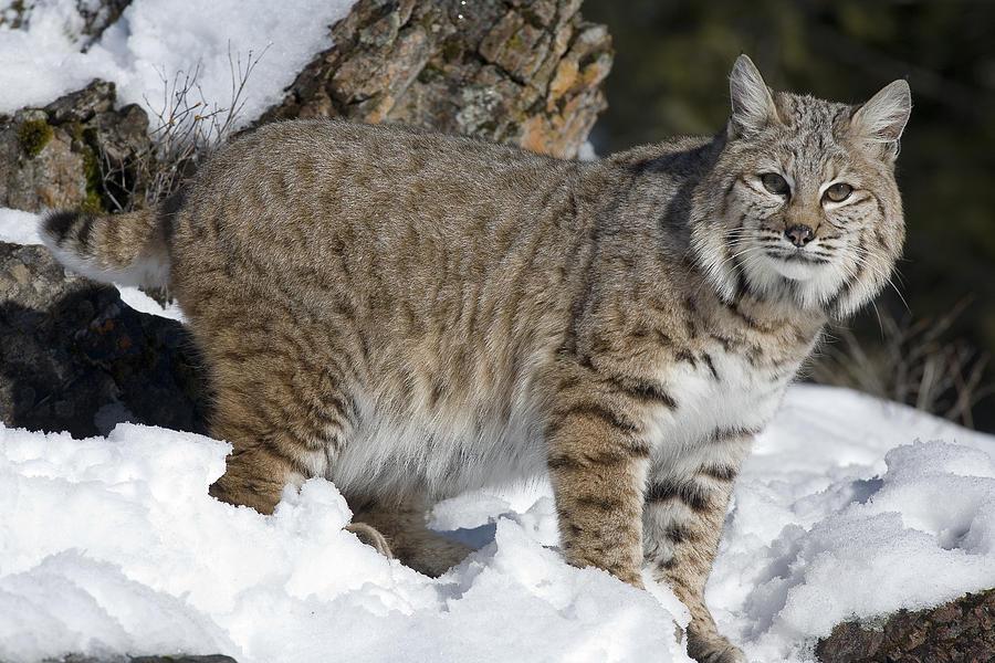 Opiniones de lynx rufus