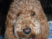 brown curly haired goldendoodle
