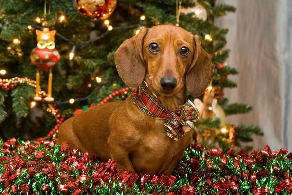 christmas red dachshund