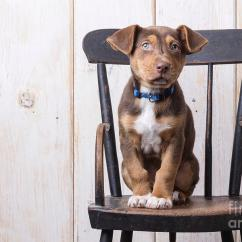 Dog High Chair Barcelona Design Analysis Cute Puppy On A Photograph By Edward Fielding