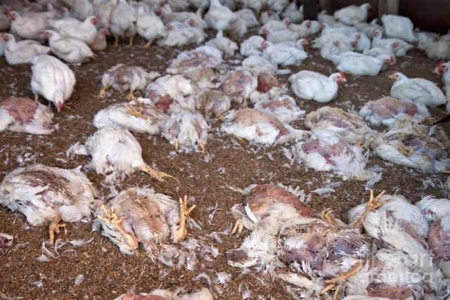The lightning struck during one of several torrential rain showers that hit a poultry farm in Ntabazinduna, Matabeleland North, last week.