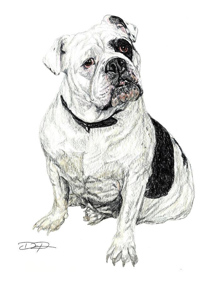English Bulldog Drawing by Dan Pearce