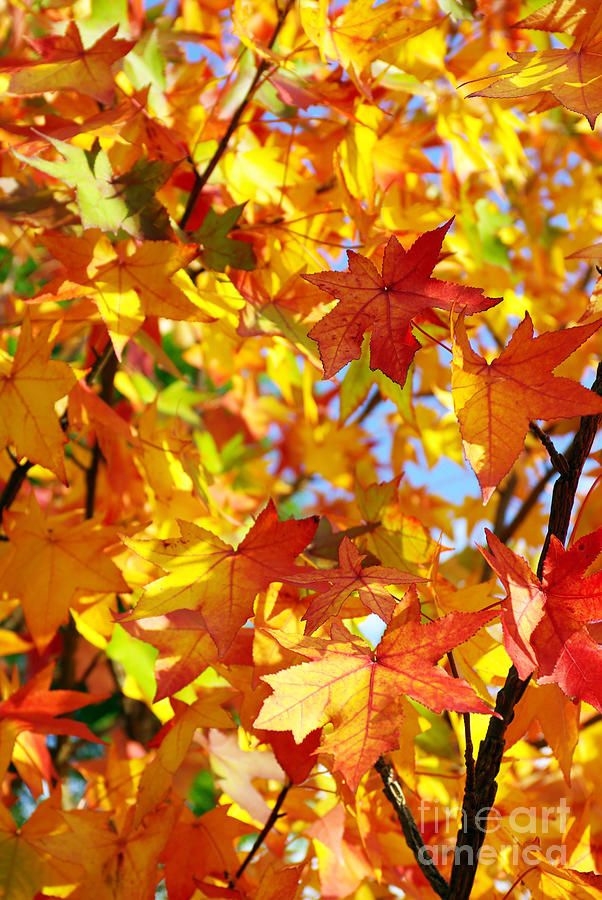 Fall Foliage Wallpaper For Iphone Fall Leaves Background Photograph By Carlos Caetano