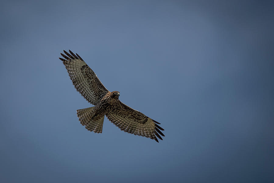 flying hawk by mike
