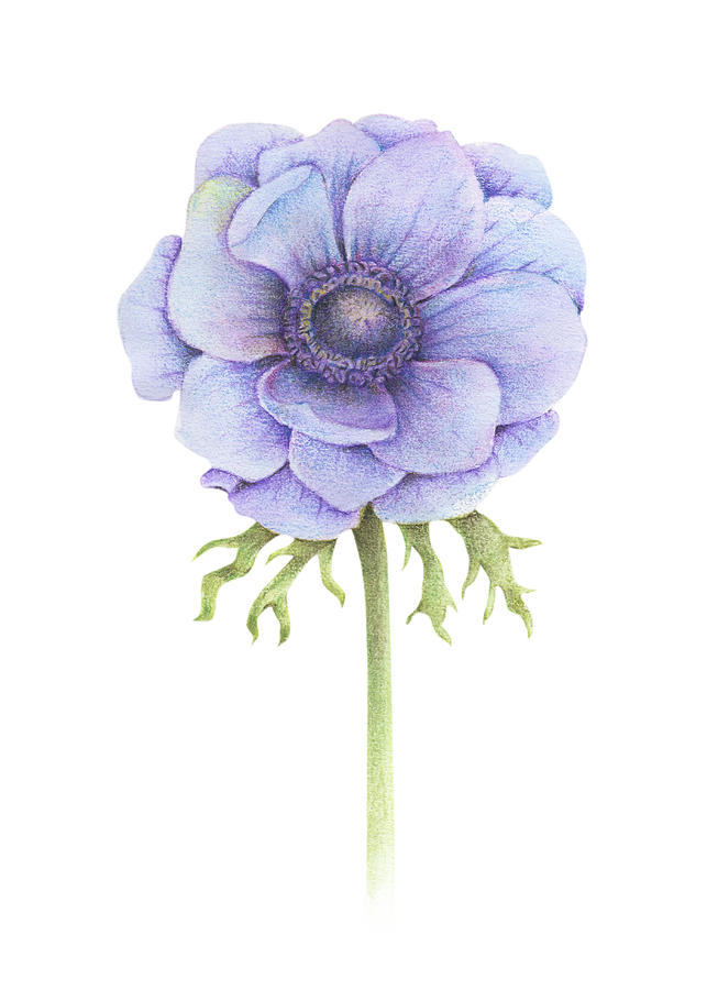 Anemone Flower Drawing : anemone, flower, drawing, Handpainted, Watercolor, Anemone, Flower, Drawing, Acharaporn, Kamornboonyarush