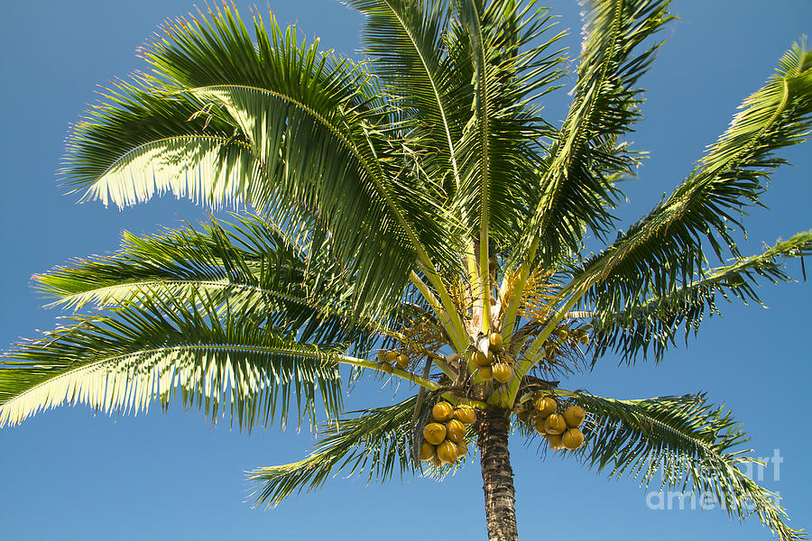 Hawaiian Coconut Palm Tree Photograph By Sharon Mau