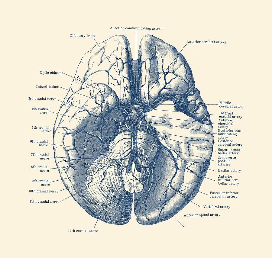 vintage diagram wiring for toyota 4runner stereo human brain anatomy poster drawing by prints