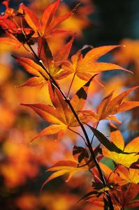 Japanese Maple. Vertical Photograph by Jenny Rainbow