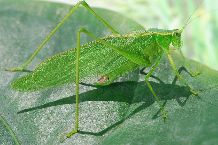 Katydid Green Grasshopper Tettigonia Viridissima On A Leaf ...