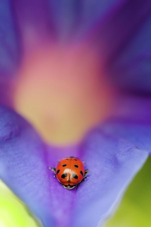 Ladybug On A Flower : ladybug, flower, Ladybug, Flower, Photograph, Photography