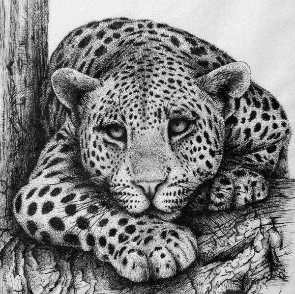 Leopard Drawing Rens Ink