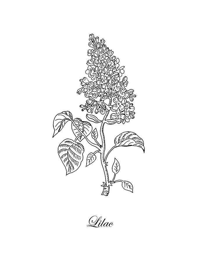 Beautiful Meaning and Symbolism of Lilac Flower Color