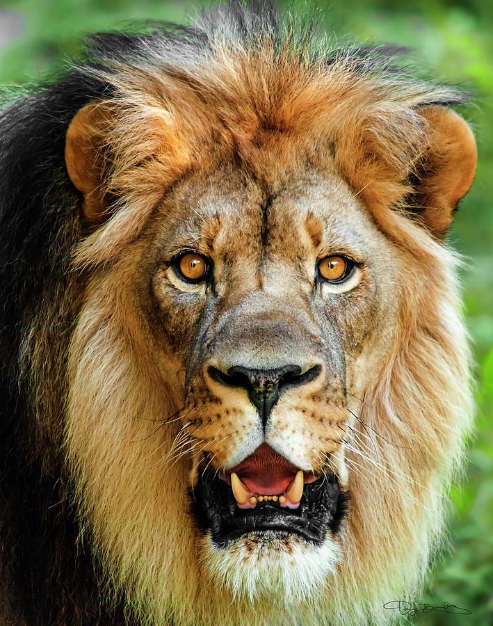 lion head portrait by