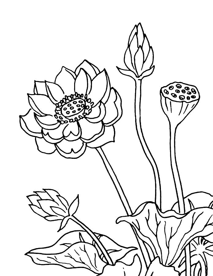 lotus flowers drawing