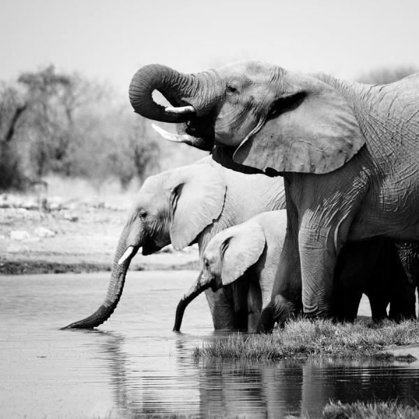 Black and White Elephant Art