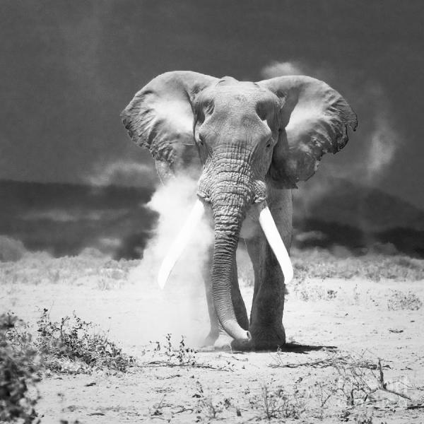 Elephant Amboseli National Park Kenya