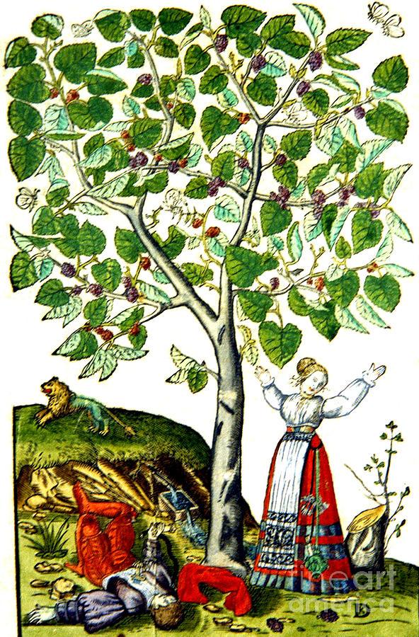 Thisbe Tree And Pyramus