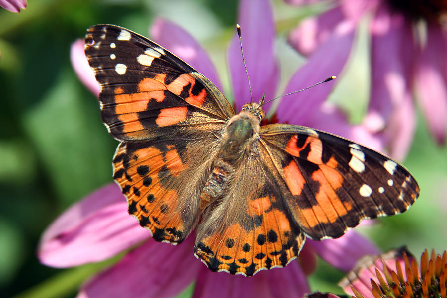 Painted Lady Butterfly Photograph by Margie Wildblood