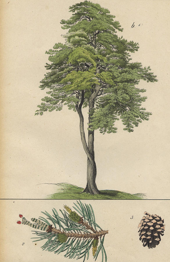 pine tree and pine