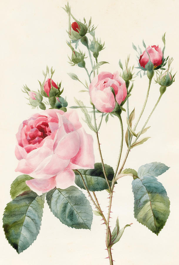 Pink Rose And Buds Painting by Louise DOrleans