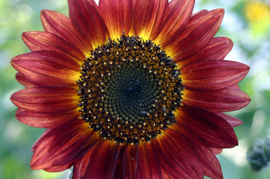 Fall Sunflowers Wallpaper Red Sunflower Photograph By Betsy Lamere