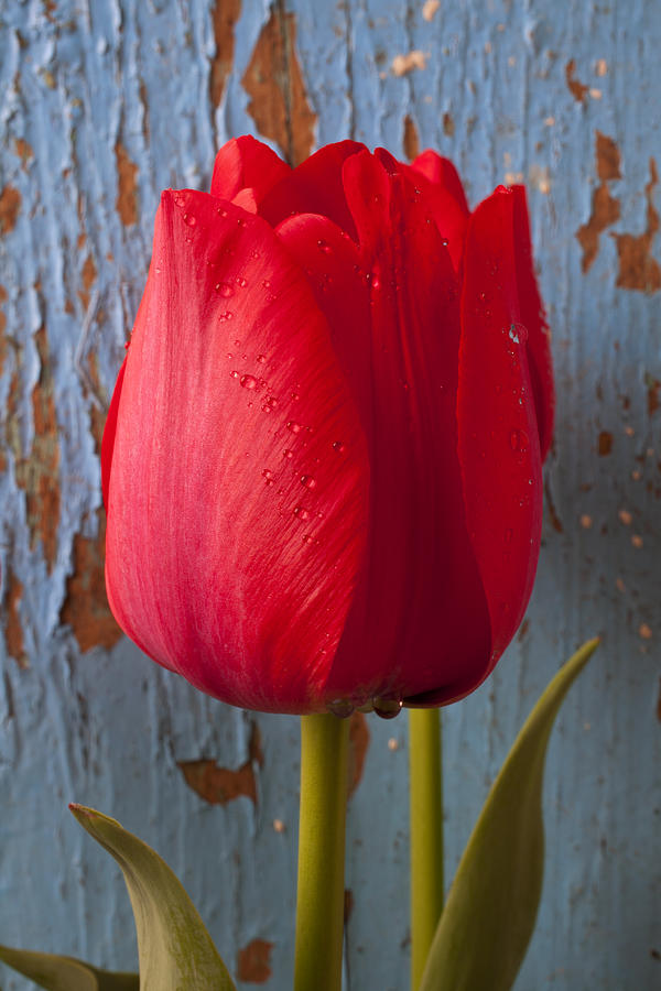Red Tulip Photograph by Garry Gay