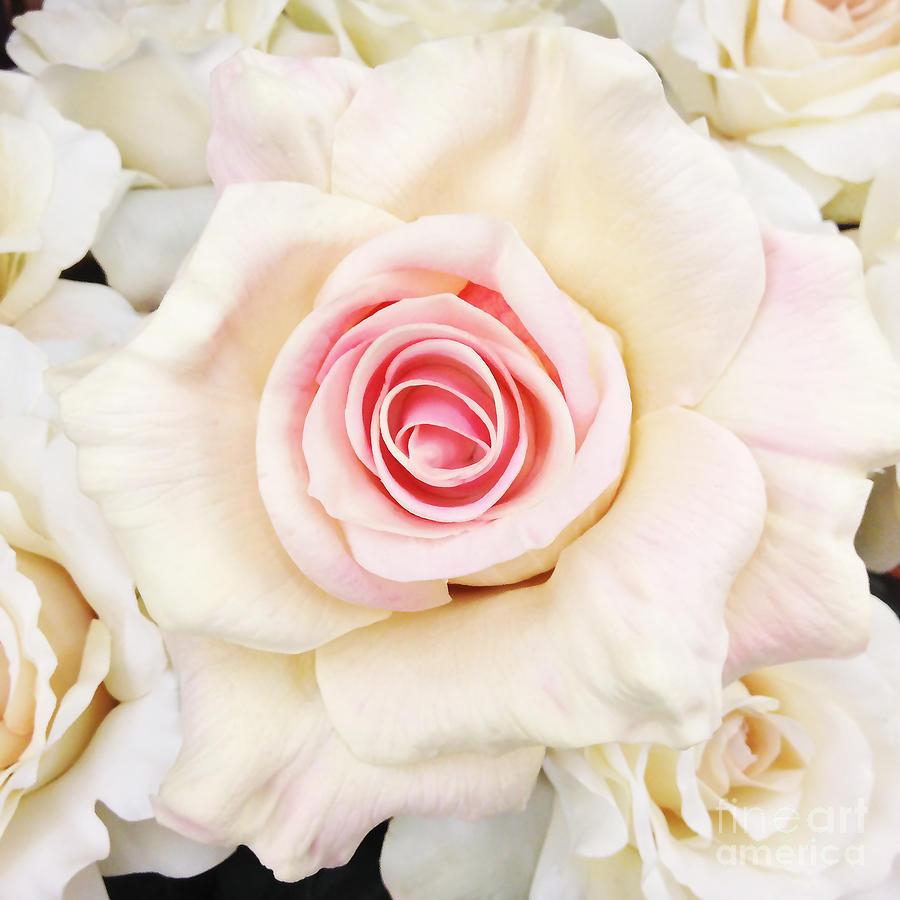 Shabby Chic Romantic White Pink Rose