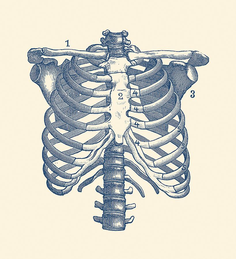 vintage diagram cat5 phone wiring shoulder and rib cage anatomy poster drawing by