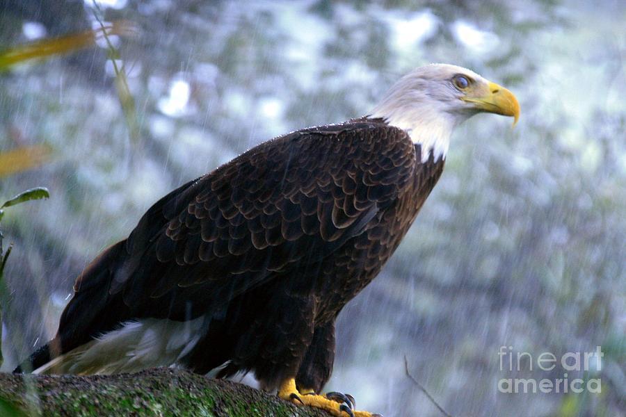 Southern Bald Eagle In The Rain Photograph by Randy Matthews