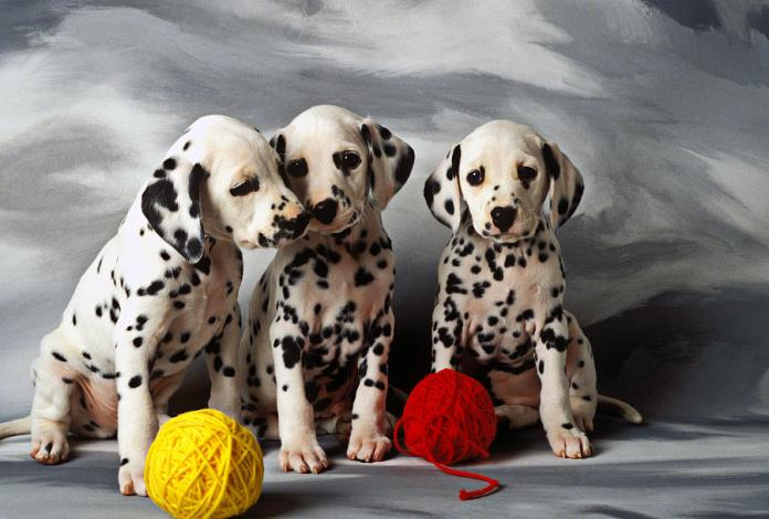 Image result for 3. The Dalmatian Dog.