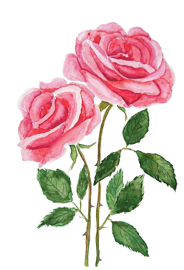 two pink roses watercolor