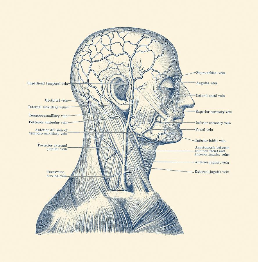 medium resolution of human head drawing vascular and muscular system vintage anatomy print by vintage anatomy prints