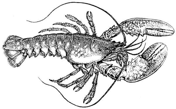 Vintage Lobster Illustration Drawing by ArtworkAssociates
