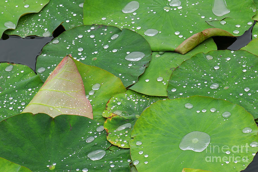 Waterdrops On Lotus Leaves Photograph by Silke Magino